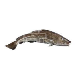 Bacalao fresco entero